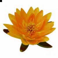 Waterlelie 16 cm geel zonder blad